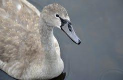 Cisne joven en el agua Fotos de archivo