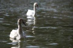 Cisne joven en el lago Foto de archivo libre de regalías