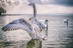 Cisne legendária Fotos de Stock
