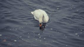 Cisne lindo en el río Rhine en Bonn imagenes de archivo