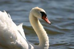 Cisne muda imagens de stock