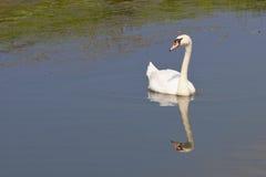 Cisne muda imagens de stock royalty free