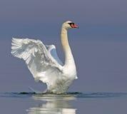 Cisne muda Fotos de Stock Royalty Free
