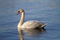 Cisne muda foto de stock royalty free