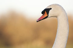 Cisne muda Fotografia de Stock
