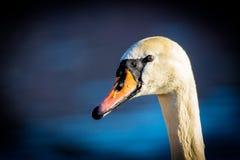 A cisne muda Imagem de Stock Royalty Free