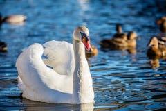 A cisne muda Foto de Stock Royalty Free