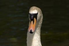 Cisne muda foto de stock