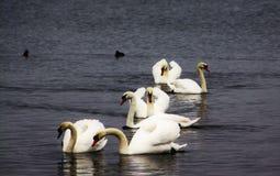 A cisne muda Fotos de Stock