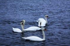 A cisne muda Fotos de Stock Royalty Free