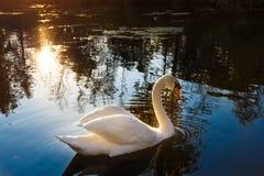 Cisne muda Imagem de Stock