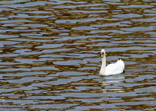 Cisne muda Fotografia de Stock Royalty Free