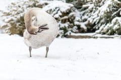Cisne muda bonita no inverno na neve Foto de Stock