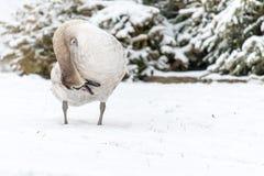 Cisne muda bonita no inverno na neve Fotos de Stock Royalty Free