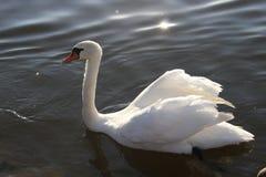 Cisne muda branca Imagens de Stock Royalty Free