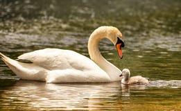 Cisne muda branca e sua alegria pequena fotografia de stock royalty free