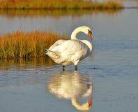 A cisne muda branca vadear imagens de stock royalty free