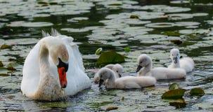 Cisne muda com cygnets fotografia de stock royalty free