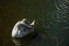 Cisne muda com junco Fotografia de Stock
