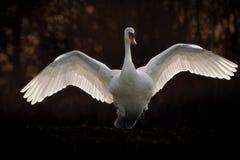 Cisne muda com propagação das asas Fotografia de Stock Royalty Free