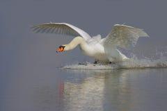 Cisne muda/Cygnus olor/. Fotografia de Stock Royalty Free