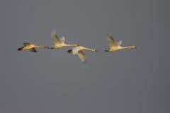 Cisne muda/Cygnus olor/. Imagem de Stock