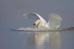 Cisne muda/Cygnus olor/ Imagens de Stock Royalty Free
