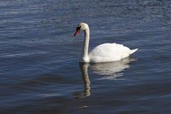Cisne muda de deslizamento Imagens de Stock Royalty Free