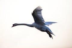 Cisne muda de voo no tempo de inverno Imagem de Stock Royalty Free