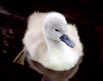 Cisne muda do bebê - Cygnet fotografia de stock