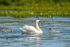 Cisne muda e Cygnets foto de stock royalty free
