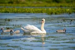 Cisne muda e Cygnets fotos de stock