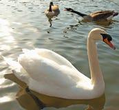 Cisne muda e gansos fotografia de stock