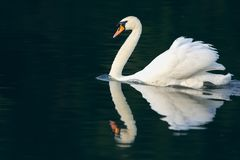 Cisne muda e reflexão fotos de stock