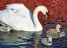 Cisne muda e seus jovens Fotografia de Stock