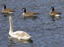 Cisne muda e três gansos cacarejando Fotografia de Stock