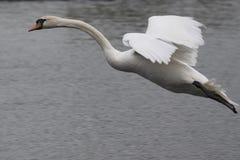 Cisne muda em voo Foto de Stock