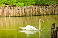 A cisne muda está nadando fotos de stock