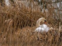 Cisne muda estabelecida em um ninho novo 5 de 6 Fotografia de Stock