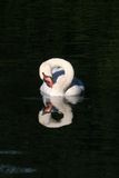 Cisne muda - infinidade Fotos de Stock Royalty Free