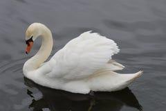 Cisne muda majestosa Imagens de Stock