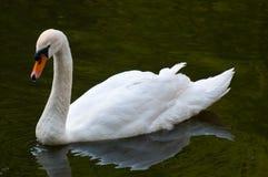 Cisne muda na água fotografia de stock royalty free