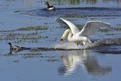 Cisne muda na luta imagem de stock royalty free