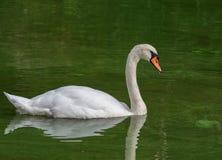 Cisne muda nadadora (olor do Cygnus) Foto de Stock Royalty Free