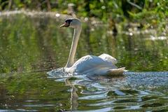 Cisne muda no delta de Danúbio fotos de stock