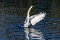 Cisne muda no inverno imagem de stock