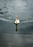 Cisne muda no lago fotos de stock royalty free