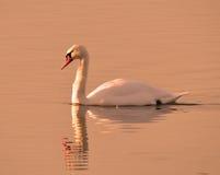 Cisne muda no sol da noite Imagens de Stock