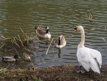 Cisne muda no suporte isolador Fotografia de Stock