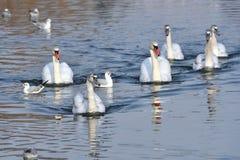 Cisne muda & x28; Olor& x29 do Cygnus; Foto de Stock